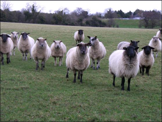 curious Irish sheep