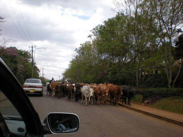 Masai Herding Cattle